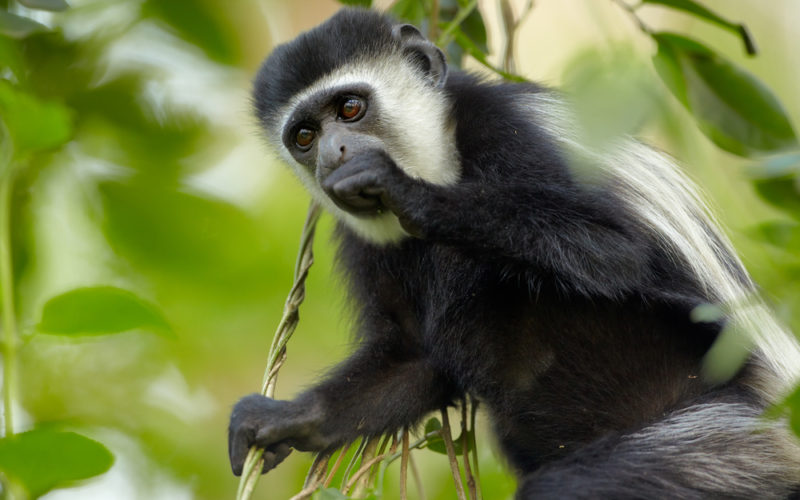 Colobus aap in arusha national park, tanzania