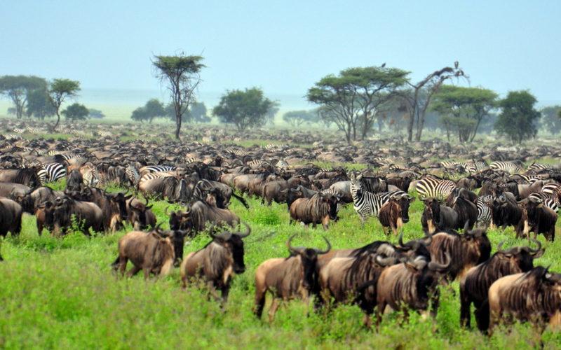 de grote migratie/ de grote trek in serengeti national park