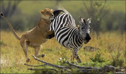 Mikumi national park Lion and Zebra