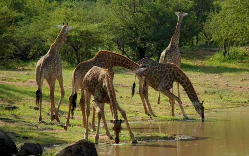 Saadani national park girafs